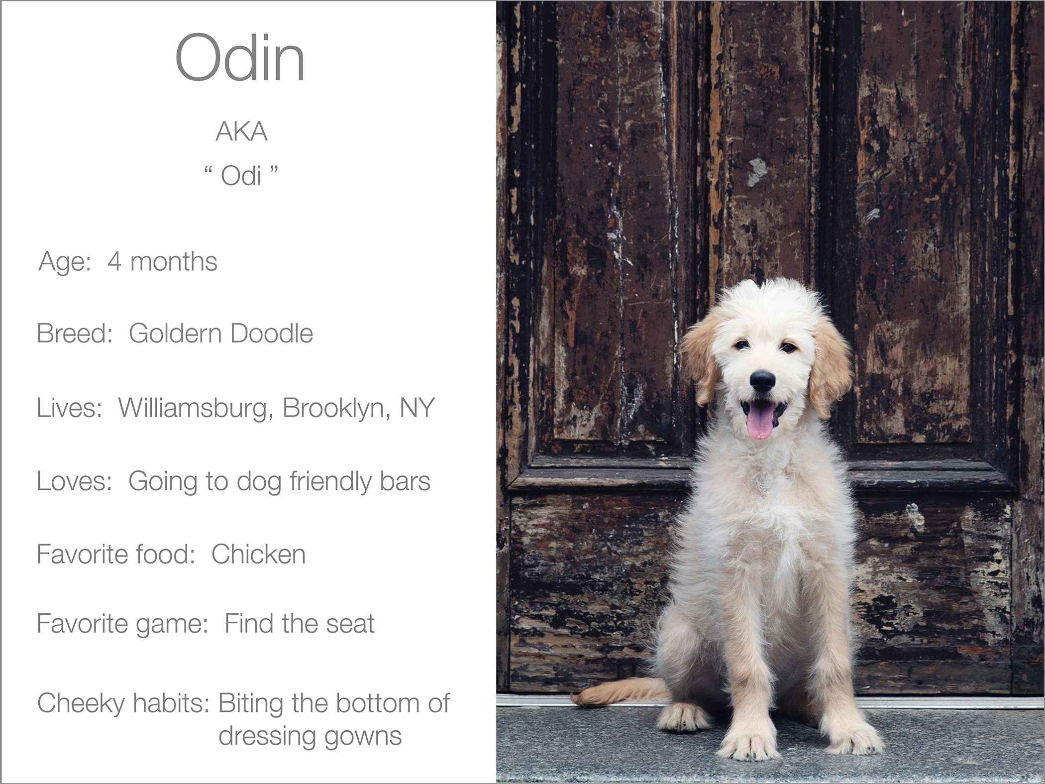 Odin profile dogs_and_the_city kristie_lee_photographer Charlie.jpg